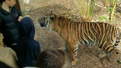 Close encounter with a Sumatran tiger at Tiger Trek launch